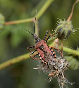 Rhynocoris erythropus, March