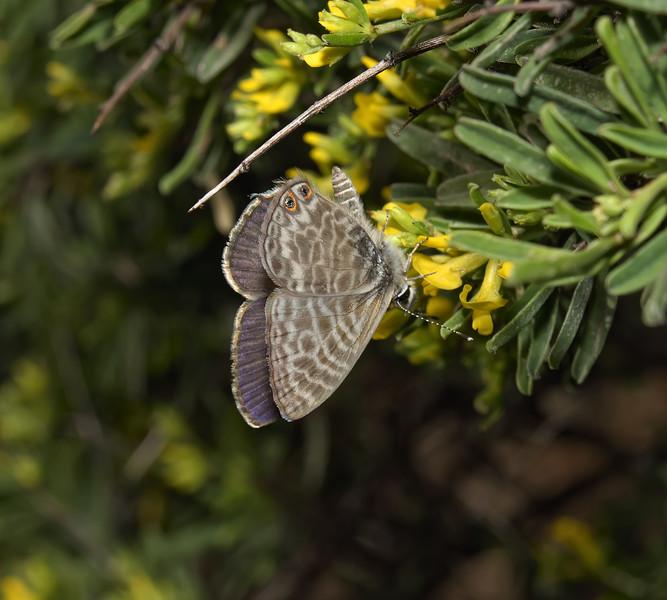 Leptotes pirithous, April