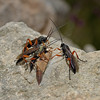 Ichneumon sp, March