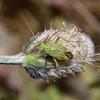 Closterotomus norvegicus, April