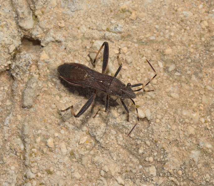 Camptopus lateralis, April