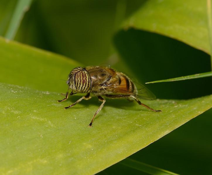 Eristalinus taeniops, March