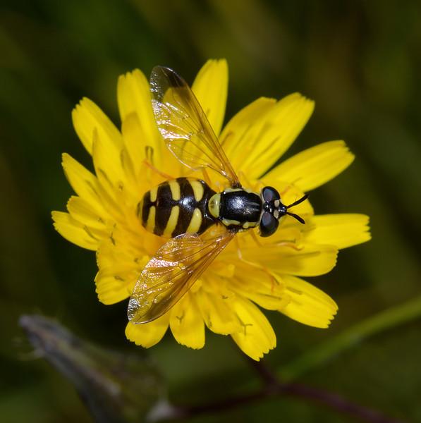 Chrysotoxum sp, April