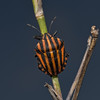 Graphosoma Lineatum, October