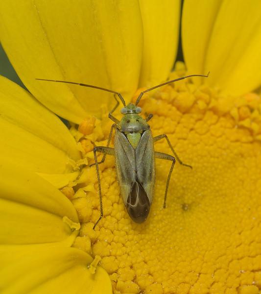 Closterotomus norvegicus, March