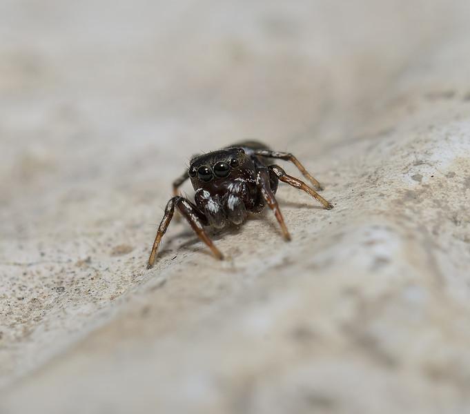 Salticidae sp, March
