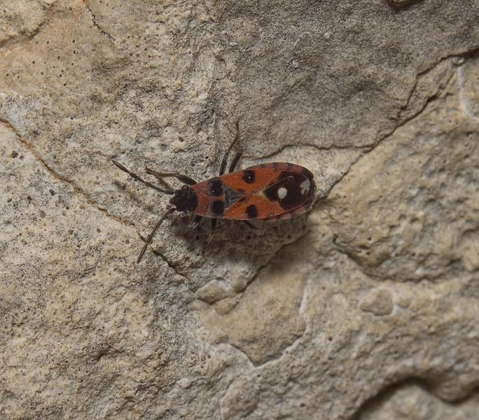 Horvathiolus gibbicollis, April