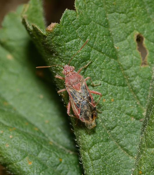 Liorhyssus hyalinus, March