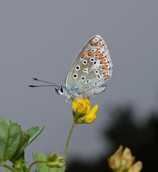 Polyommatus Icarus, March