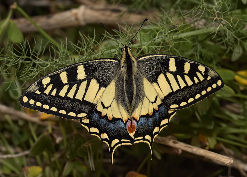 Papilio machaon ssp. melitensis, April