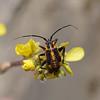 Horistus orientalis nymph, March