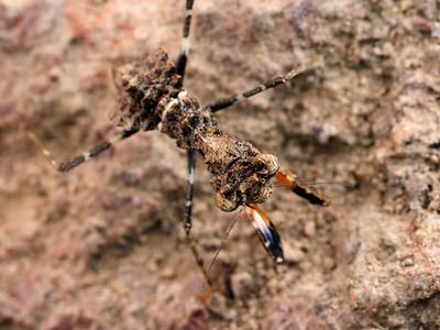 genus Gyromantis