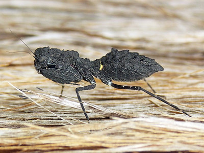 genus Paraoxypilus