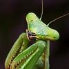 Pseudomantis albofimbriata - False Garden Mantid
