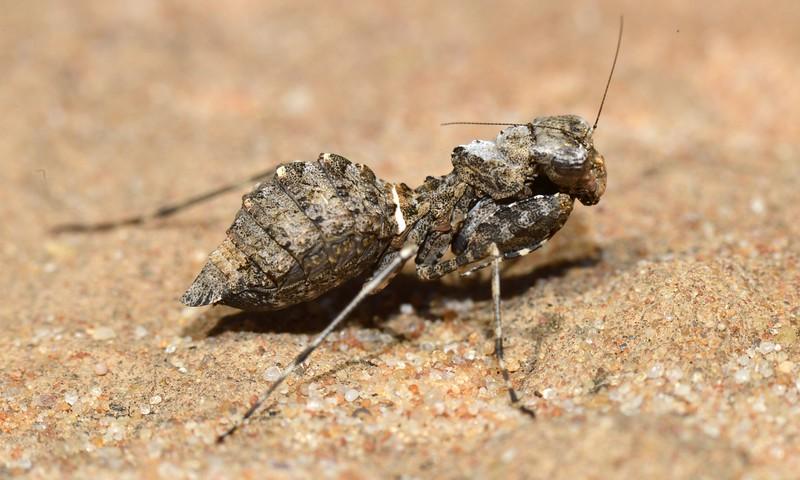 Paraoxypilus  sp