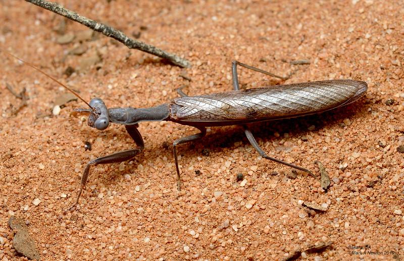 Sphodropoda tristis (50-60mm)