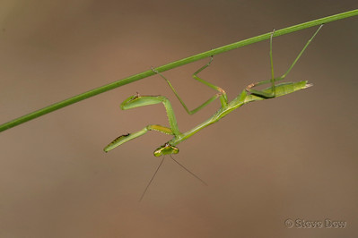 False Garden Mantis