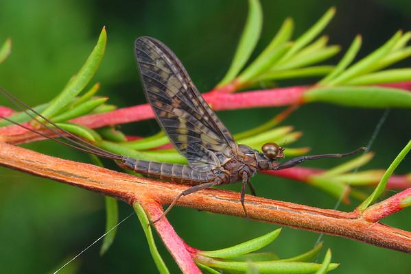 Atalophlebia albiterminata