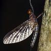 possible Ulmerphlebia sp.