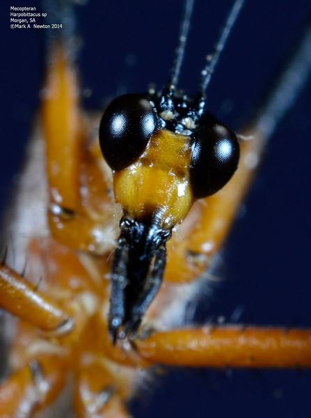 Harpobittacus sp