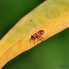 Milkweed bug nymph