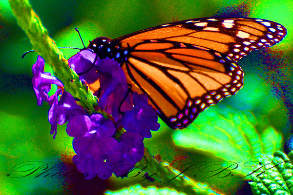 Monarch Butterflys Tampa