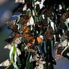 monarchs-3