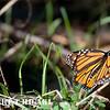 monarchs-1