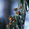monarchs- reserve in Pacific Grove, CA