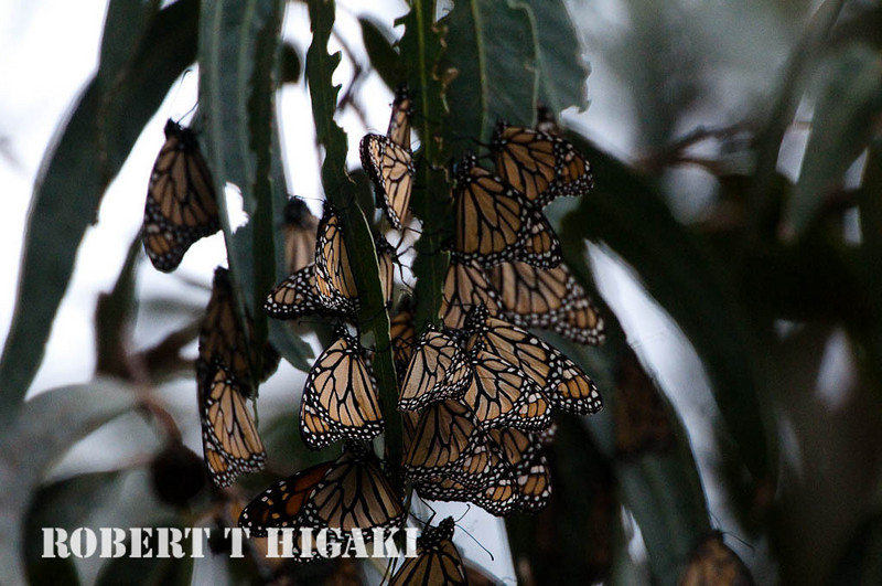 monarchs-7