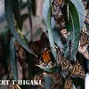 monarchs-6
