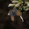 Western Pygmy Blue - Brephidium exilis, Morro Bay, November