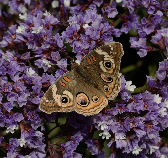 Common Buckeye - Junonia coenia, Morro Bay, November