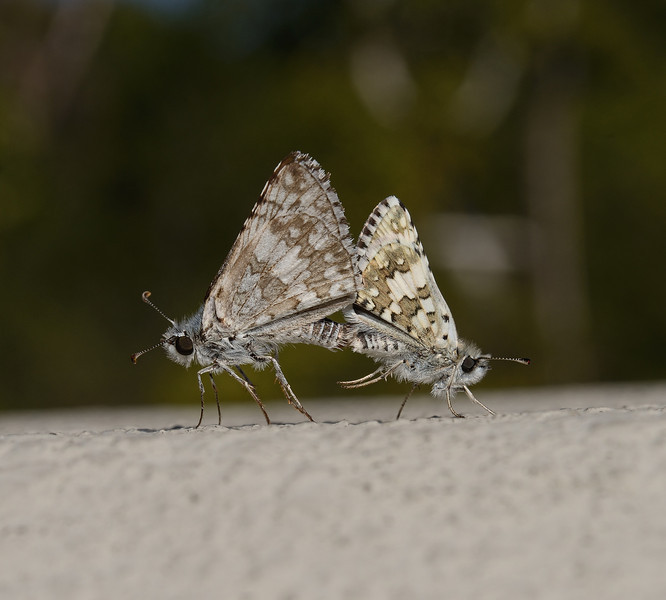 Checkered-Skipper - Pyrgus sp, San Luis Obispo, October