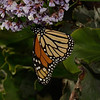 Monarch - Danaus plexippus, Morro Bay, November