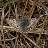 Checkered-Skipper - Pyrgus sp, San Luis Obispo, October