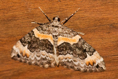 Carpet Moth - Orange-barred - (Dysstroma hersiliata) - Dunning Lake - Itasca County, MN