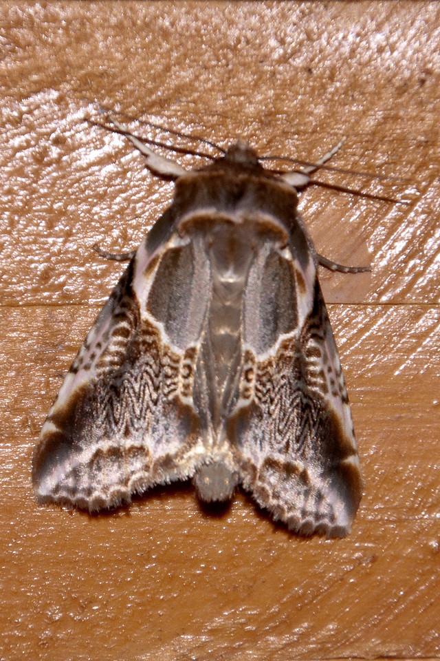 Habrosyne Moth - Lettered - (Habrosyne scripta) - Dunning Lake - Itasca County, MN