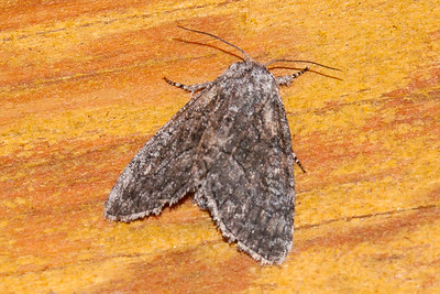 Brother-The-(Raphia frater)-Dunning Lake-Itasca County, MN