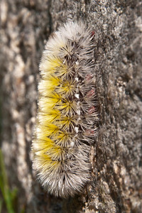 Ctenucha - Virginia - Caterpillar - (Ctenucha virginica) - Dunning Lake - Itasca County, MN