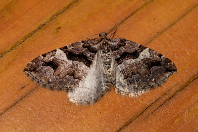 Carpet Moth-Variable-(Anticlea vasiliata)-Dunning Lake-Itasca County, MN