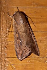 Armyworm Moth - (Mythimna unipuncta) - Dunning Lake - Itasca County, MN