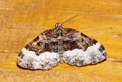 Carpet Moth - Sharp-angled - (Euphyia intermediata) - Dunning Lake - Itasca County, MN