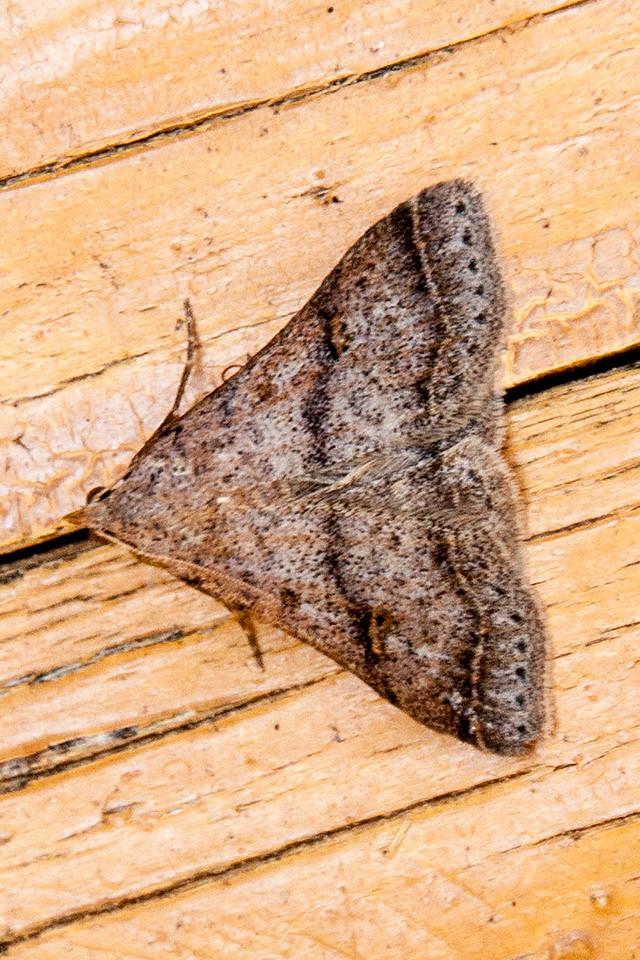 Owlet - Bent-winged - (Bleptina caradrinalis) - Dunning Lake - Itasca County, MN