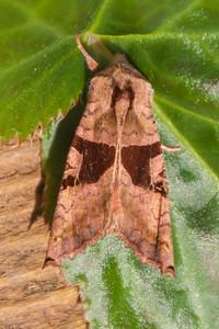 Angle Shades - Brown - (Phlogophora periculosa) - Dunning Lake - Itasca County, MN