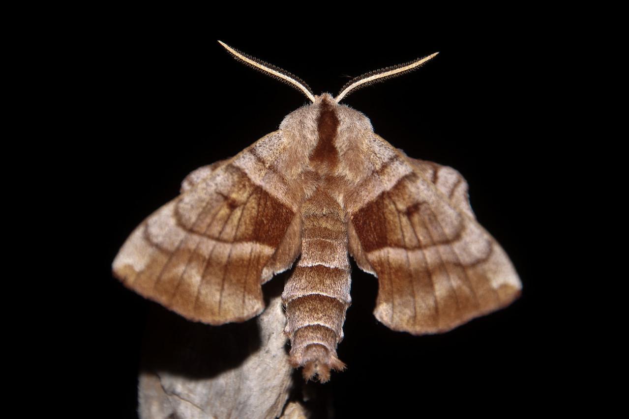Sphinx - Walnut - (Amorpha juglandis) - Dunning Lake - Itasca County, MN