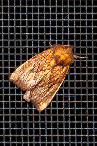 Borer-Sensitive Fern-(Papaipema inquaesita)-Dunning Lake-Itasca County, MN