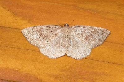 Alder Moth-Pale-(Tacparia detersata)-Dunning Lake-Itasca County, MN