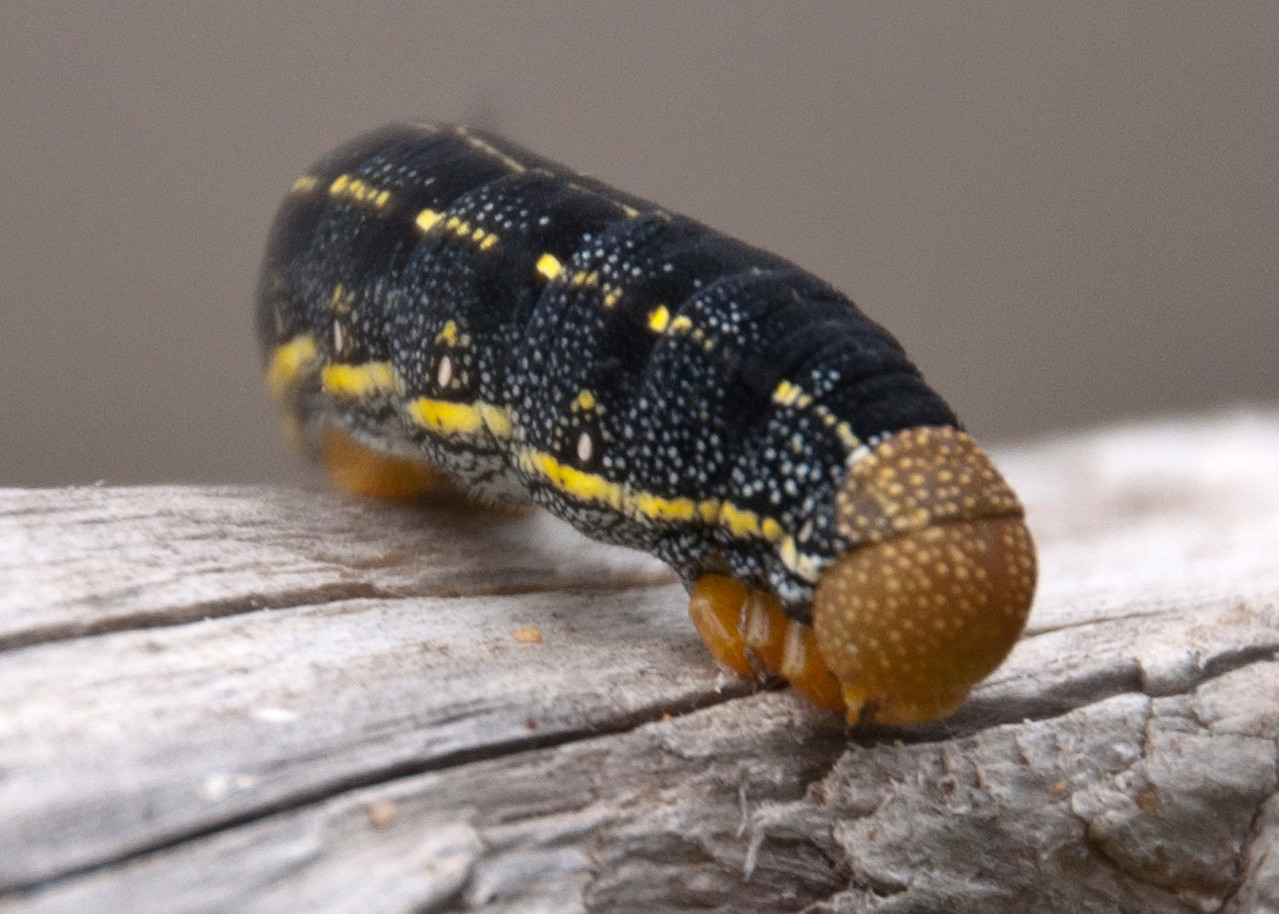 Sphinx - White-lined - (Hyles lineata) - Caterpillar - Dunning Lake - Itasca County, MN