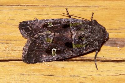 Cutworm Moth - Bristly - (Lacinipolia renigera) - Dunning Lake - Itasca County, MN